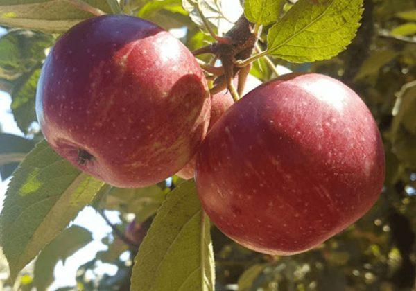 4 מקומות מקסימים לקטיף תפוחים | סתיו בניו יורק